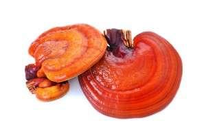 Lingzhi Mushroom Ganoderma Lucidum